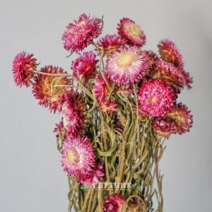 Гелихризум розовый