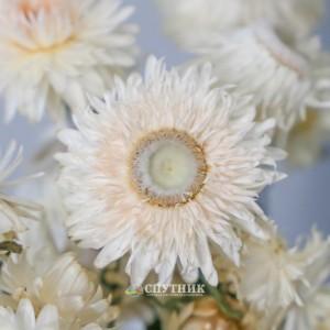 Гелихризум белый