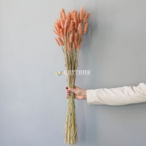 Лагурус персиковый