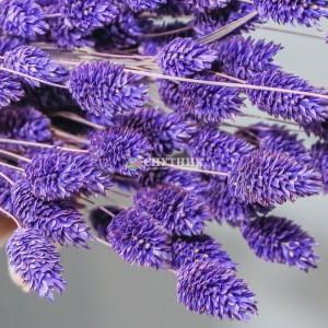 Фалярис фиолетовый