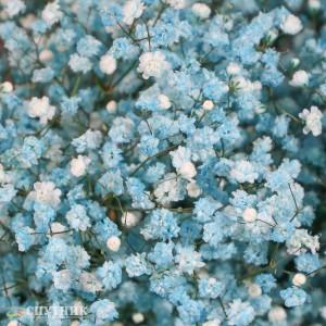 Гипсофила бирюзовая | Gypsophila Turquoise