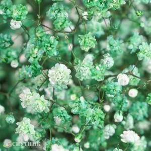 Гипсофила зеленая | Gypsophila Dark Green