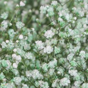 Гипсофила зеленая светлая | Gypsophila Light Green