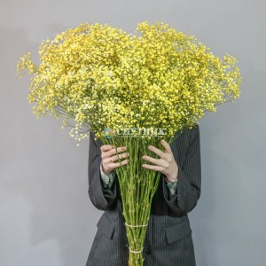 Гипсофила желтая | Gypsophila Yellow