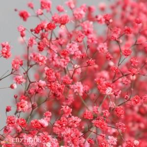 Гипсофила красная | Gypsophila Red