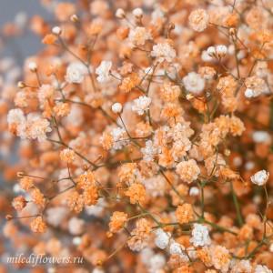 Гипсофила оранжевая | Gypsophila Orange