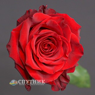 !ХИТ! Роза Эксплорер | Explorer Rose