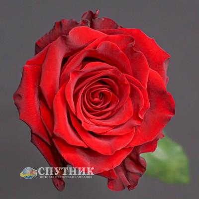 .Роза Эксплорер | Explorer Rose