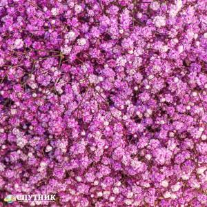 Гипсофила розовая | Gypsophila Light Pink