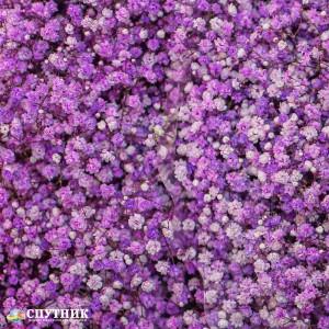 Гипсофила лавандовая | Gypsophila Lavender