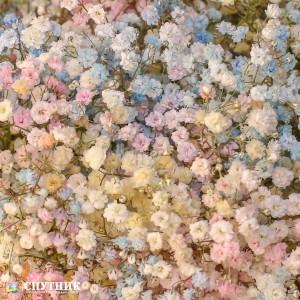 Гипсофила радужная | Gypsophila Rainbow