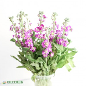 Маттиола Перпл | Matthiola Purple
