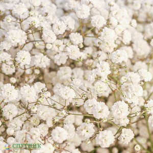 Гипсофила белая | Gypsophila White