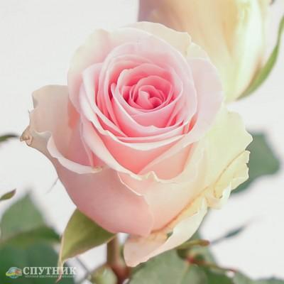 Роза Дюшес | Duchesse Rose