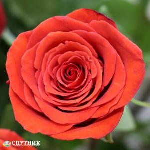 Роза Нина | Nina Rose