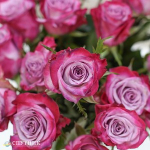 Роза Дип Перпл | Deep Purple Rose