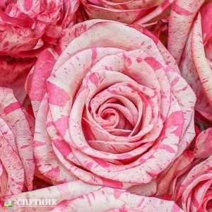 Роза Мэджик Таймс | Magic Times Rose