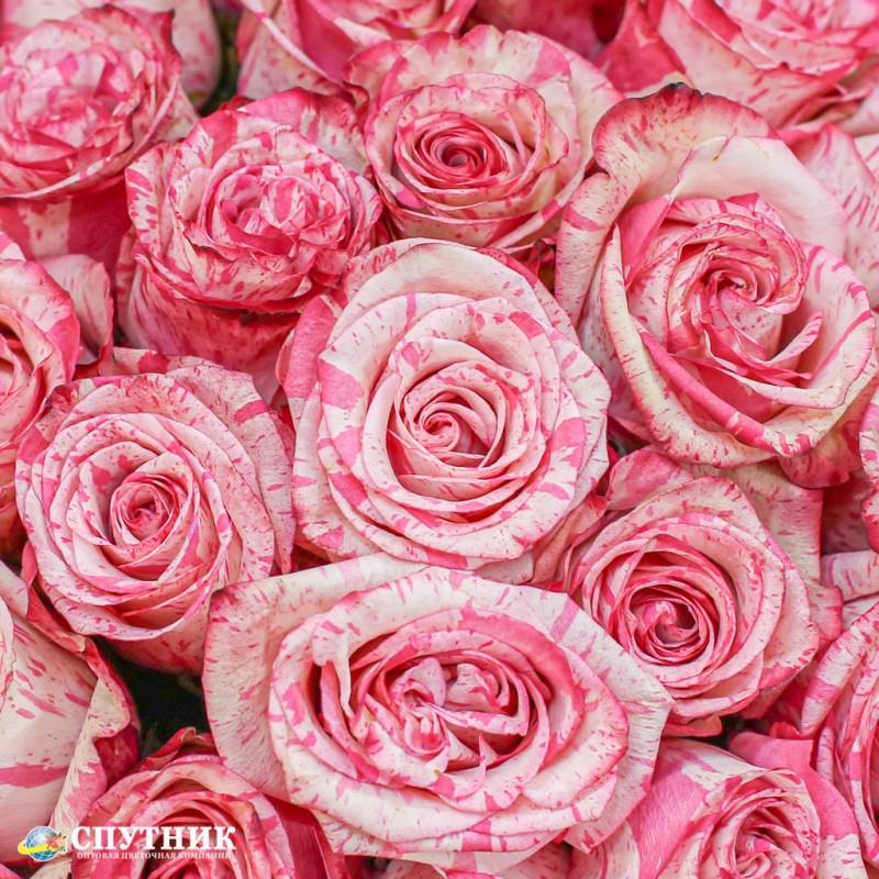 Роза меджик таймс, мэджик таймс на сайте оптовой цветочной компании СПУТНИК