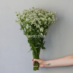 Астранция | Astrantia Flower