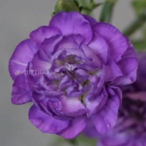 Гвоздика кустовая лунная Мунберри | Moonberry Carnation