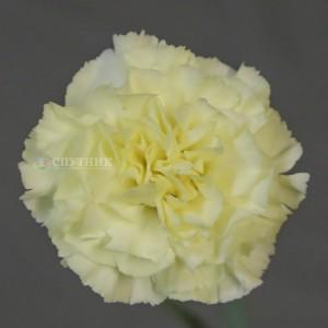 Гвоздика одноголовая Дилетта Крема | Diletta Crema Carnation