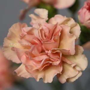 Гвоздика кустовая Эстасьон| Estacion Carnation