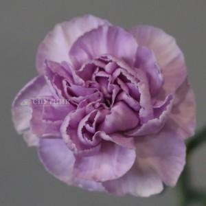 Гвоздика одноголовая лунная Мунаква | Moonaqua Carnation