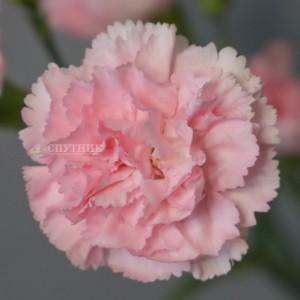 Гвоздика кустовая Роксана | Roxanne Carnation