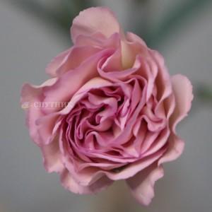 Гвоздика кустовая Свит Мокко | Sweet Mocha Carnation