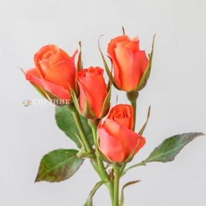 .Роза кустовая Оранж Стар Иришка | Orange Star Irishka Spray Rose