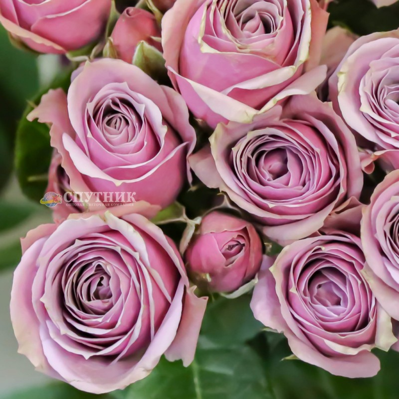 Купить кустовые розы Лавандер Иришка оптом и в розницу в СПб