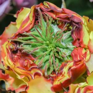 .Роза кустовая Кабана Иришка | Cabana Irishka Spray Rose