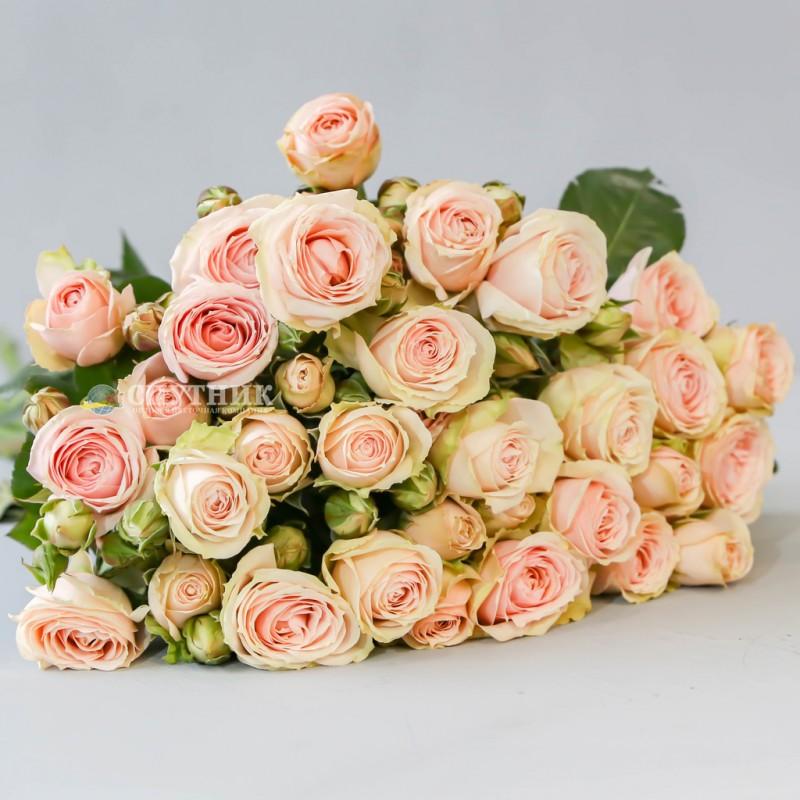 Купить кустовую розу Блаш Иришка в СПб недорго