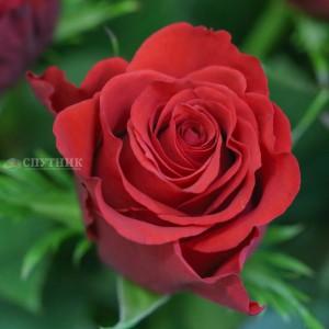 Роза Альтамира | Rose Altamira