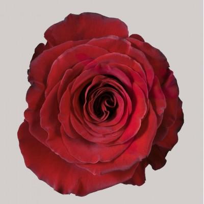 .Роза Хартс | Hearts Rose