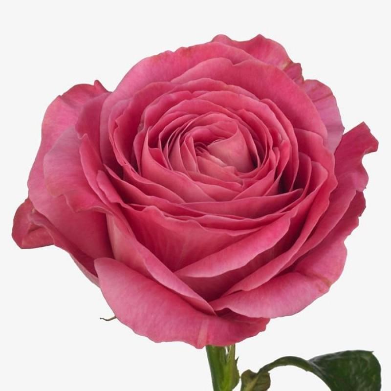 Купить розовые розы в спб