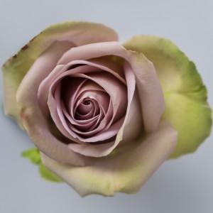 Роза Амнезия | Amnesia Rose