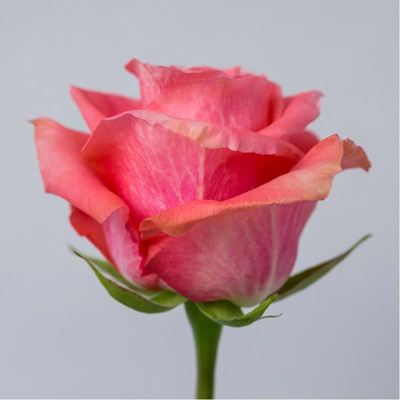 Розы Амстердам купить оптом