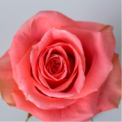 Роза Амстердам | Amsterdam Rose