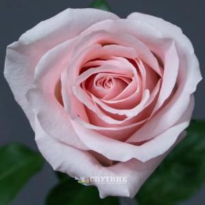 Роза Амороса | Rose Amorosa