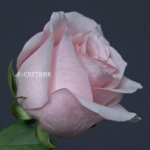 .Роза Амороса | Rose Amorosa