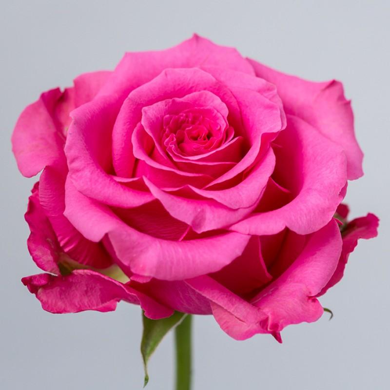 Купить розы Балет в спб