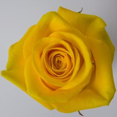 Роза Брайтон | Brighton Rose
