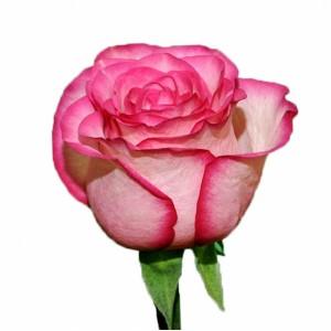 Роза Карусель | Carousel Rose