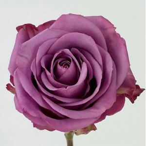 Роза Кул Вотер | Cool Water Rose