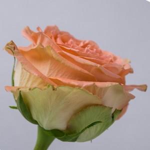 !ХИТ! Роза Кантри Хоум   Country Home Rose