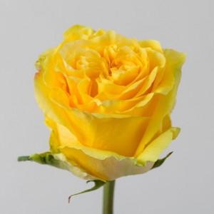 Роза Кантри Сан | Country Sun Rose