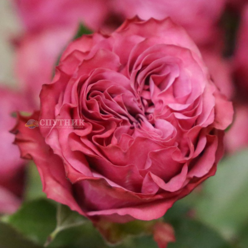 Купить розовые розы Кантри Блюза в Спб