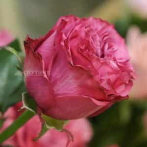 .Роза Кантри Блюз | Country Blues Rose