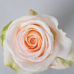 Роза Эмили | Emely Rose